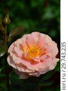 Купить «Роза чайно-гибридная Кингс Макк (Кингс Мак, FRYdisco, Ann Wrighton, Кинг'с Мак), (Rosa Kings Macc). Fryer Roses, Великобритания 2002», эксклюзивное фото № 29743235, снято 17 июля 2015 г. (c) lana1501 / Фотобанк Лори