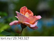 Купить «Роза чайно-гибридная (Hybrid Tea) Эль (Meibderos, Элле, Она), (лат. Rosa Elle). Meilland (Мейян), Франция 2000», эксклюзивное фото № 29743327, снято 17 июля 2015 г. (c) lana1501 / Фотобанк Лори