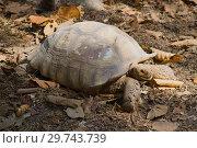 Шпороносная черепаха (Geochelone sulcata) крупным планом. Зоопарк Чианг Мая (2018 год). Стоковое фото, фотограф Виктор Карасев / Фотобанк Лори