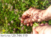 Купить «Девушка собирает лекарственные травы. Женская рука рвет Чабрец или Тимьян.», фото № 29744119, снято 24 июня 2017 г. (c) Евгений Бобков / Фотобанк Лори