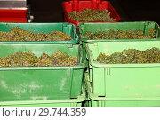 Купить «Ripe bunches of white grape in red plastic boxes», фото № 29744359, снято 10 сентября 2016 г. (c) Anton Eine / Фотобанк Лори