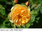 Купить «Роза кустарниковая Грэхэм Томас (AUSmas, Грехам Томас), (лат. Rose Graham Thomas). David Austin Roses, Великобритания 1983», эксклюзивное фото № 29744927, снято 24 августа 2015 г. (c) lana1501 / Фотобанк Лори