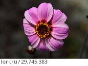 Купить «Цветок простого, однорядного георгина лилового цвета (международное обозначение - Sin, Single-flowered dahlias)», эксклюзивное фото № 29745383, снято 19 июня 2016 г. (c) lana1501 / Фотобанк Лори