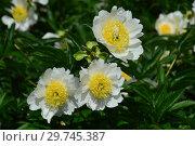 Пион молочноцветковый Бу-Ти (лат. Paeonia Bu-Te), Вассенбург, США 1954. Стоковое фото, фотограф lana1501 / Фотобанк Лори