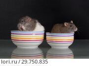 Купить «Rats in a plate on the table», фото № 29750835, снято 23 июня 2014 г. (c) Argument / Фотобанк Лори