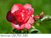 Купить «Роза плетистая Антик 89 (KORdalen, Antike 89, Antique), (лат. Antique 89). W.Kordes Sohne, Германия 1989», эксклюзивное фото № 29751143, снято 24 августа 2015 г. (c) lana1501 / Фотобанк Лори