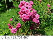 Купить «Роза плетистая Эльмшорн (Эльмсхорн, Элмсхорн), (лат. Rosa Elmshorn). W.Kordes Sohne, Germany 1951», эксклюзивное фото № 29751467, снято 20 августа 2015 г. (c) lana1501 / Фотобанк Лори