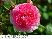 Купить «Роза кустарниковая Мадам де Сталь (Мадам де Стаел, Masmast), (Madame de Stael). Guillot Massad (Гийо-Массад), France 2009», эксклюзивное фото № 29751507, снято 16 августа 2015 г. (c) lana1501 / Фотобанк Лори