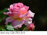 Купить «Роза кустарниковая Мадам де Сталь (Мадам де Стаел, Masmast), (лат. Rosa Madame de Stael). Guillot Massad, Франция 2009», эксклюзивное фото № 29751511, снято 16 августа 2015 г. (c) lana1501 / Фотобанк Лори