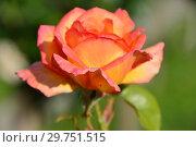 Купить «Чайно-гибридная роза Филипп Нуаре (MEIzoele, Glowing Peace, MEIzoelle, MEIzoelo, Philipe Noiret, Филип Нуарэ), (лат. Rosa Philippe Noiret). Meilland International, Франция 1999», эксклюзивное фото № 29751515, снято 16 августа 2015 г. (c) lana1501 / Фотобанк Лори
