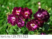 Купить «Роза полиантовая Роут 66 (Роуте 66), (лат. Rosa Route 66, WEKmorfis). Tom Carruth, США 2001», эксклюзивное фото № 29751523, снято 14 августа 2015 г. (c) lana1501 / Фотобанк Лори