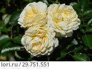 Купить «Роза флорибунда Крим Абандэнс (Крим Абанданс, Крим Эбандэнс, HARflax, Covent Garden), (лат. Cream Abundance). Harkness Roses, Великобритания 1999», эксклюзивное фото № 29751551, снято 4 августа 2015 г. (c) lana1501 / Фотобанк Лори