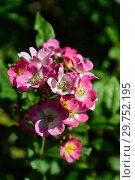 Купить «Мускусная роза Моцарт (Mozart). P. Lambert (Peter Lambert), Германия 1937», эксклюзивное фото № 29752195, снято 24 августа 2015 г. (c) lana1501 / Фотобанк Лори