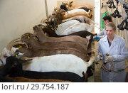 Купить «Two women milking goats», фото № 29754187, снято 15 декабря 2018 г. (c) Яков Филимонов / Фотобанк Лори