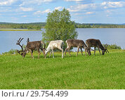 Купить «Four reindeer grazing on green meadow on shore of northern lake. Finnish Lapland», фото № 29754499, снято 13 июля 2018 г. (c) Валерия Попова / Фотобанк Лори