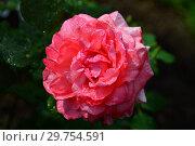 Купить «Роза чайно-гибридная Артур Рембо (Артур Рэмбо, Meihylvol), (Rosa Arthur Rimbaud). Meilland, France 2008», эксклюзивное фото № 29754591, снято 7 августа 2015 г. (c) lana1501 / Фотобанк Лори