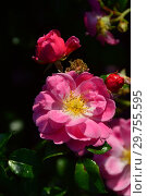 Купить «Мускусная роза (шраб) Моцарт (лат. Rosa Mozart). P. Lambert (Peter Lambert), Germany 1937», эксклюзивное фото № 29755595, снято 26 августа 2015 г. (c) lana1501 / Фотобанк Лори