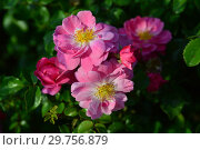 Купить «Мускусная роза (шраб) Моцарт (лат. Rosa Mozart). P. Lambert (Peter Lambert), Germany 1937», эксклюзивное фото № 29756879, снято 26 августа 2015 г. (c) lana1501 / Фотобанк Лори