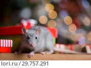 Купить «Gray rat with gifts on the background of the Christmas tree», фото № 29757291, снято 19 января 2019 г. (c) Типляшина Евгения / Фотобанк Лори