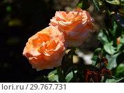 Роза чайно-гибридная чайно-гибридная Голден Олди (Fryescape), (лат. Rosa Golden Oldie). Fryer's Roses, Великобритания 2000. Стоковое фото, фотограф lana1501 / Фотобанк Лори