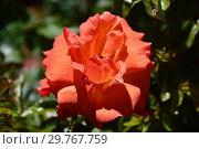 Купить «Роза чайно-гибридная Ремембэ Ми (Римембер Ми, Macpadspo), (лат. Remember Me). C&K Jones, Новая Зеландия. Cocker, Britain 1984», эксклюзивное фото № 29767759, снято 21 августа 2015 г. (c) lana1501 / Фотобанк Лори