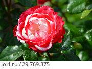Роза чайно-гибридная (rosa tea hybrid) Ностальжи (Ностальгия, TANeiglat, La Garconne), (Nostalgie). Rosen Tantau (Розы Тантау), Germany 1995. Стоковое фото, фотограф lana1501 / Фотобанк Лори