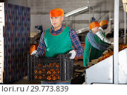 Купить «Man working on sorting line at fruit warehouse, stacking boxes with selected tangerines», фото № 29773839, снято 15 декабря 2018 г. (c) Яков Филимонов / Фотобанк Лори