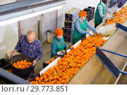 Купить «High angle view of group of people working on citrus sorting line at warehouse, checking quality of tangerines», фото № 29773851, снято 15 декабря 2018 г. (c) Яков Филимонов / Фотобанк Лори