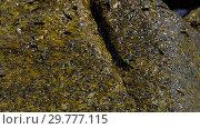 Купить «Rockskipper fish on the rock at the beach», видеоролик № 29777115, снято 19 ноября 2018 г. (c) Игорь Жоров / Фотобанк Лори