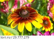 Купить «Цветок рудбекии (лат.Rudbeckiа) в саду крупным планом», фото № 29777279, снято 8 августа 2018 г. (c) Елена Коромыслова / Фотобанк Лори