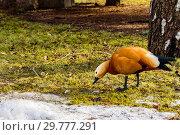 Купить «Огарь, или красная утка (лат. Tadorna ferruginea), питается первой весенней зеленой травой. Зоопарк, Москва, Россия», фото № 29777291, снято 5 апреля 2018 г. (c) Устенко Владимир Александрович / Фотобанк Лори