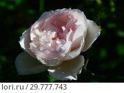 Купить «Роза плетистая Зе Дженероуз Гарден (Зе Дженерос Гарденер, AUSdrawn), (лат. The Generous Gardener). David Austin Roses (Девид Остин), Великобритания 2005», эксклюзивное фото № 29777743, снято 24 августа 2015 г. (c) lana1501 / Фотобанк Лори