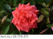 Роза чайно-гибридная Сонг энд Дэнс (Сон энд Данс, Hybrid Tea), (лат. Song & Dance, Song and Dance). Roses Fryer's, Великобритания 2005. Стоковое фото, фотограф lana1501 / Фотобанк Лори