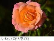 Купить «Роза чайно-гибридная Британия (FRYcalm, Daybreaker, Rochemenier Village), (лат. Rosa Britannia). Fryer's Roses (Розы Фраера), Англия 1998», эксклюзивное фото № 29779795, снято 16 августа 2015 г. (c) lana1501 / Фотобанк Лори