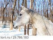 Купить «Head of a beautiful white horse at the farm in winter sunny day», фото № 29786183, снято 11 марта 2018 г. (c) FotograFF / Фотобанк Лори