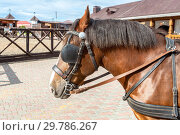 Купить «Beautiful chestnut horse in harness», фото № 29786267, снято 11 июня 2018 г. (c) FotograFF / Фотобанк Лори