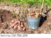 Купить «Freshly dug potatoes in metal bucket and shovel at the vegetable garden», фото № 29786299, снято 17 августа 2016 г. (c) FotograFF / Фотобанк Лори