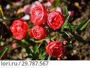 Купить «Роза миниатюрная Оранж Морсдаг (Morsdag Oranje, Muttertag Orange, Orange Mothersday, Orange Muttertag), (лат. Rosa Orange Morsdag). Grootendorst, Нидерланды 1956», эксклюзивное фото № 29787567, снято 24 августа 2015 г. (c) lana1501 / Фотобанк Лори