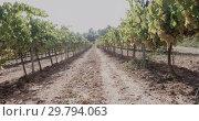 Купить «Closeup of bunches of ripe white grapes on vine in vineyard. Selective focus», видеоролик № 29794063, снято 27 сентября 2018 г. (c) Яков Филимонов / Фотобанк Лори