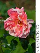 Купить «Роза флорибунда Поль Гоген (JACdebu, Паул Гаугуин), (лат. Rose Paul Gauguin). G. Delbard (коллекция Дельбара), France 2006», эксклюзивное фото № 29795175, снято 7 августа 2015 г. (c) lana1501 / Фотобанк Лори