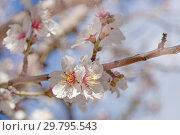 Купить «цветущий миндаль, Гран Канария, январь», фото № 29795543, снято 24 января 2019 г. (c) Tamara Kulikova / Фотобанк Лори