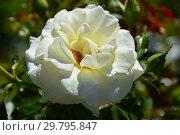 Купить «Роза флорибунда Даймонд Дэйз Форэвэ (Даймонд Дейз Фореве, Fryjess), (лат. Diamond Days Forever). Fryer's Roses, Великобритания 2006», эксклюзивное фото № 29795847, снято 4 августа 2015 г. (c) lana1501 / Фотобанк Лори