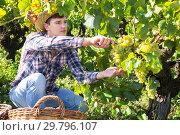 Купить «Man gathering harvest of white grapes», фото № 29796107, снято 13 сентября 2018 г. (c) Яков Филимонов / Фотобанк Лори