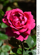 Купить «Роза чайно-гибридная Шарлотта Рэмплинг (Щарлот Рамплинг, MEIhirvin, MEIrvin, Thomas Barton), (лат. Rosa Charlotte Rampling). Meilland (Мейян), Франция 1988», эксклюзивное фото № 29798035, снято 4 августа 2015 г. (c) lana1501 / Фотобанк Лори