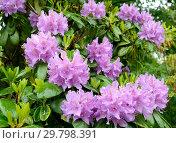 Купить «Цветение розового рододендрона (Rhododendron L.). Весна», фото № 29798391, снято 27 мая 2014 г. (c) Ирина Борсученко / Фотобанк Лори