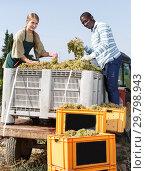Positive man and female vineyard workers inspecting new grapes harvest. Стоковое фото, фотограф Яков Филимонов / Фотобанк Лори