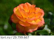 Купить «Роза кустовая (шраб) Сахара (TANarasah), (Rosa Sahara). Rosen Tantau (Тантау), Germany 1996», эксклюзивное фото № 29799667, снято 7 августа 2015 г. (c) lana1501 / Фотобанк Лори