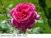Купить «Роза чайно-гибридная Дуфтрауш (Дуфтраш, TANschaubud, Old Fragrance, Senteur Royale, Duftrausch 86, Olde Fragrance), (лат. Rosa Duftrausch). Rosen Tantau, Германия 1986», эксклюзивное фото № 29799727, снято 7 августа 2015 г. (c) lana1501 / Фотобанк Лори
