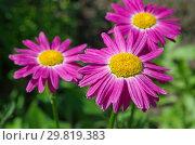 Купить «Пиретрум розовый, или Персидская ромашка (лат. Pyrethrum roseum) в саду крупным планом», фото № 29819383, снято 16 июня 2018 г. (c) Елена Коромыслова / Фотобанк Лори