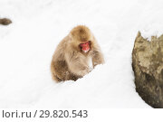 japanese macaque or monkey searching food in snow (2018 год). Стоковое фото, фотограф Syda Productions / Фотобанк Лори